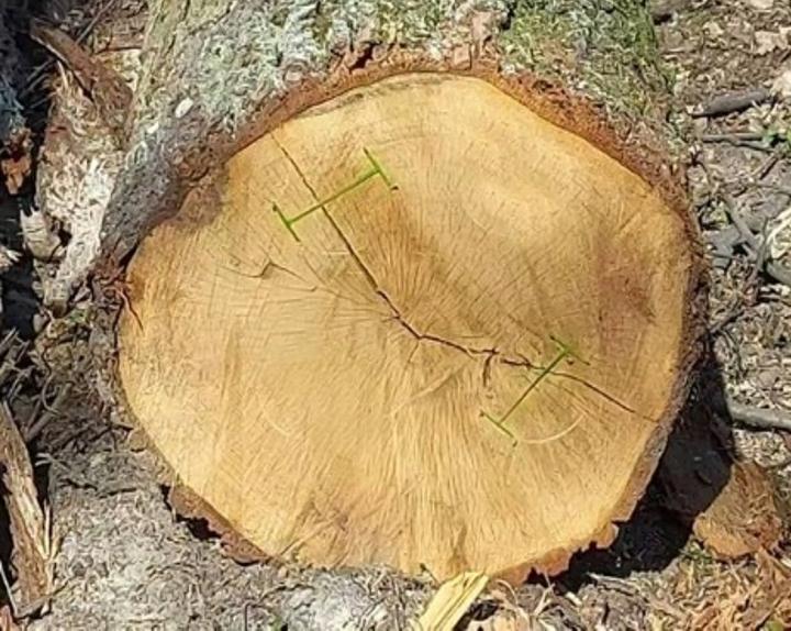Klamry do zabezpieczania drewna cennego przed pękaniem